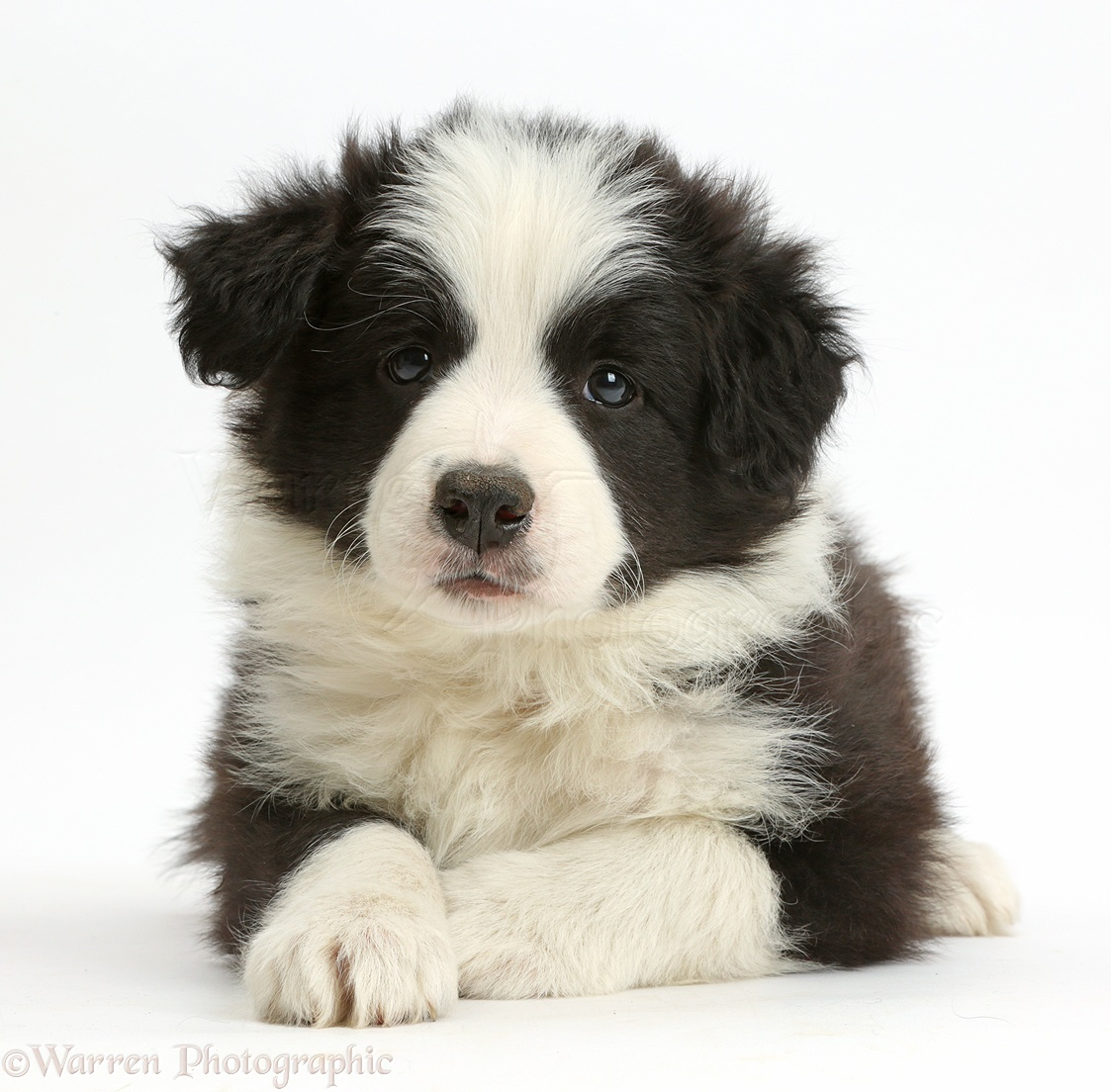 Collie Dog Black And White Puppy