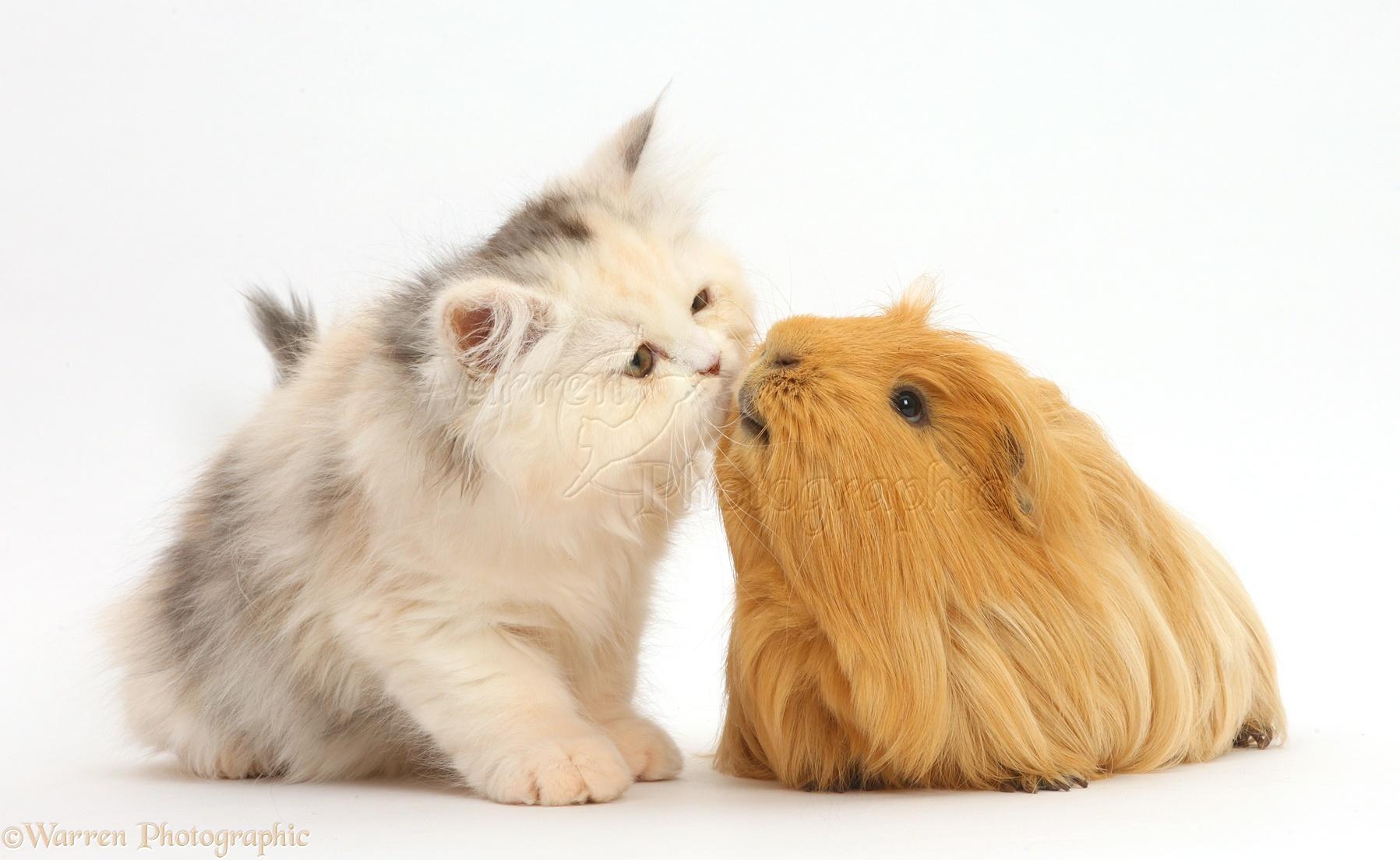 Картинки морские свинки и котята