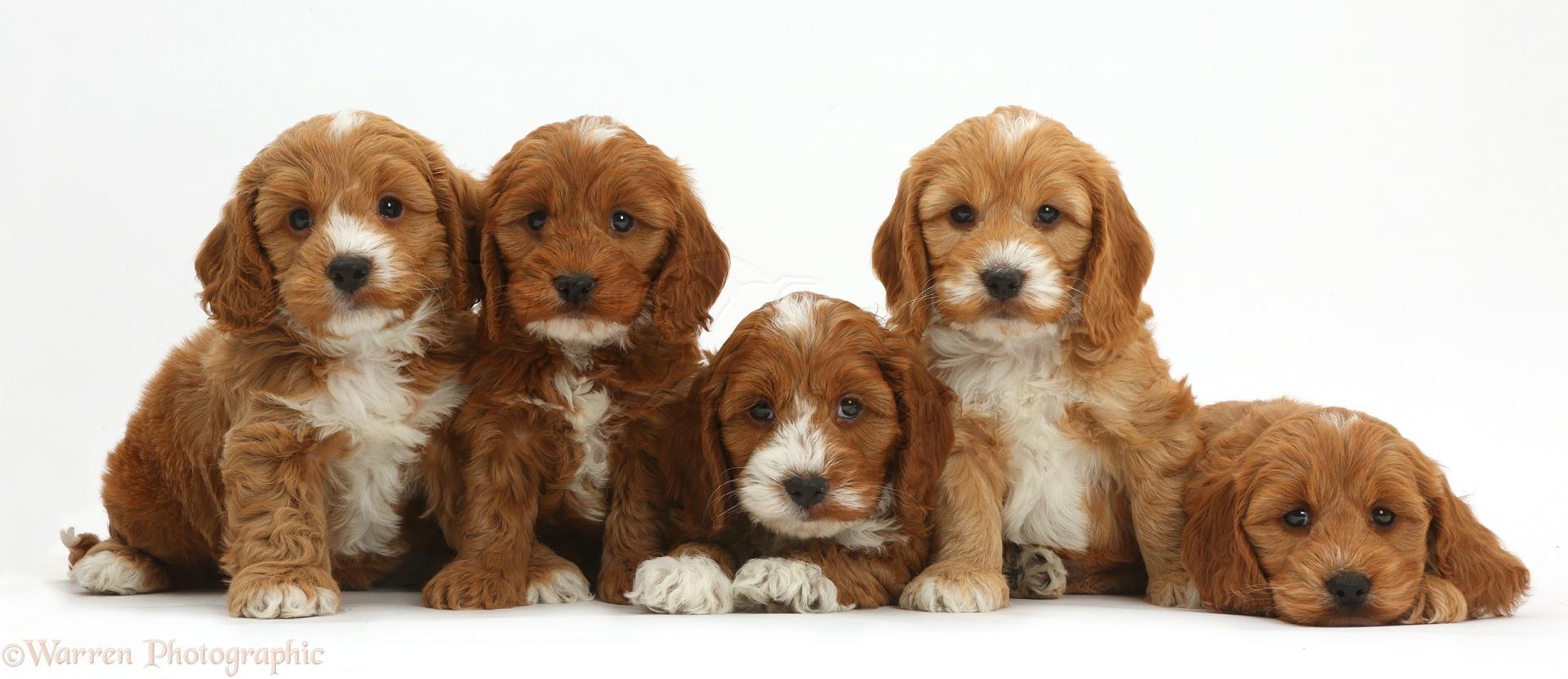 Cute Cockapoo Puppies