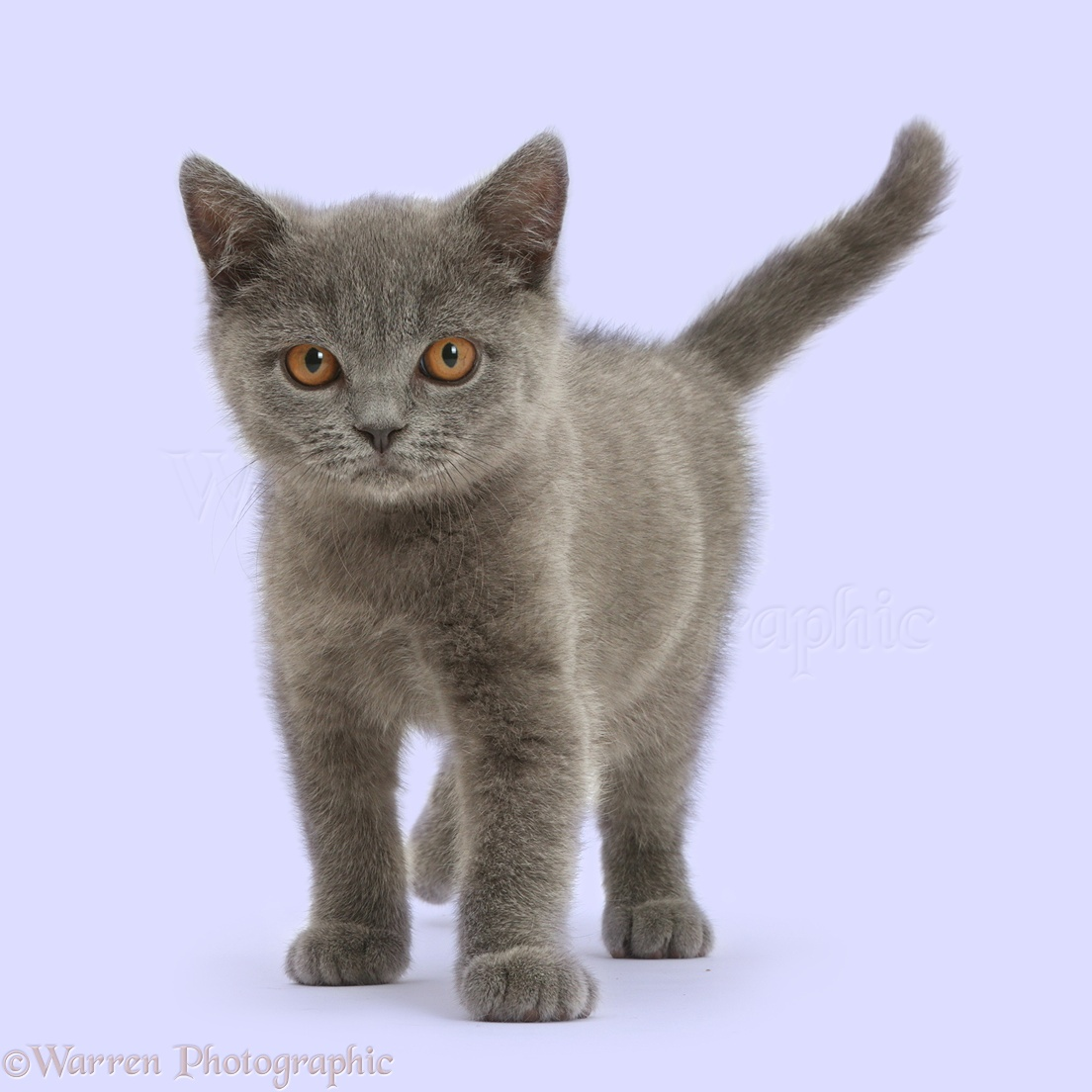 British Shorthair Kitten Best Cat And Kitten Image And HD 2017