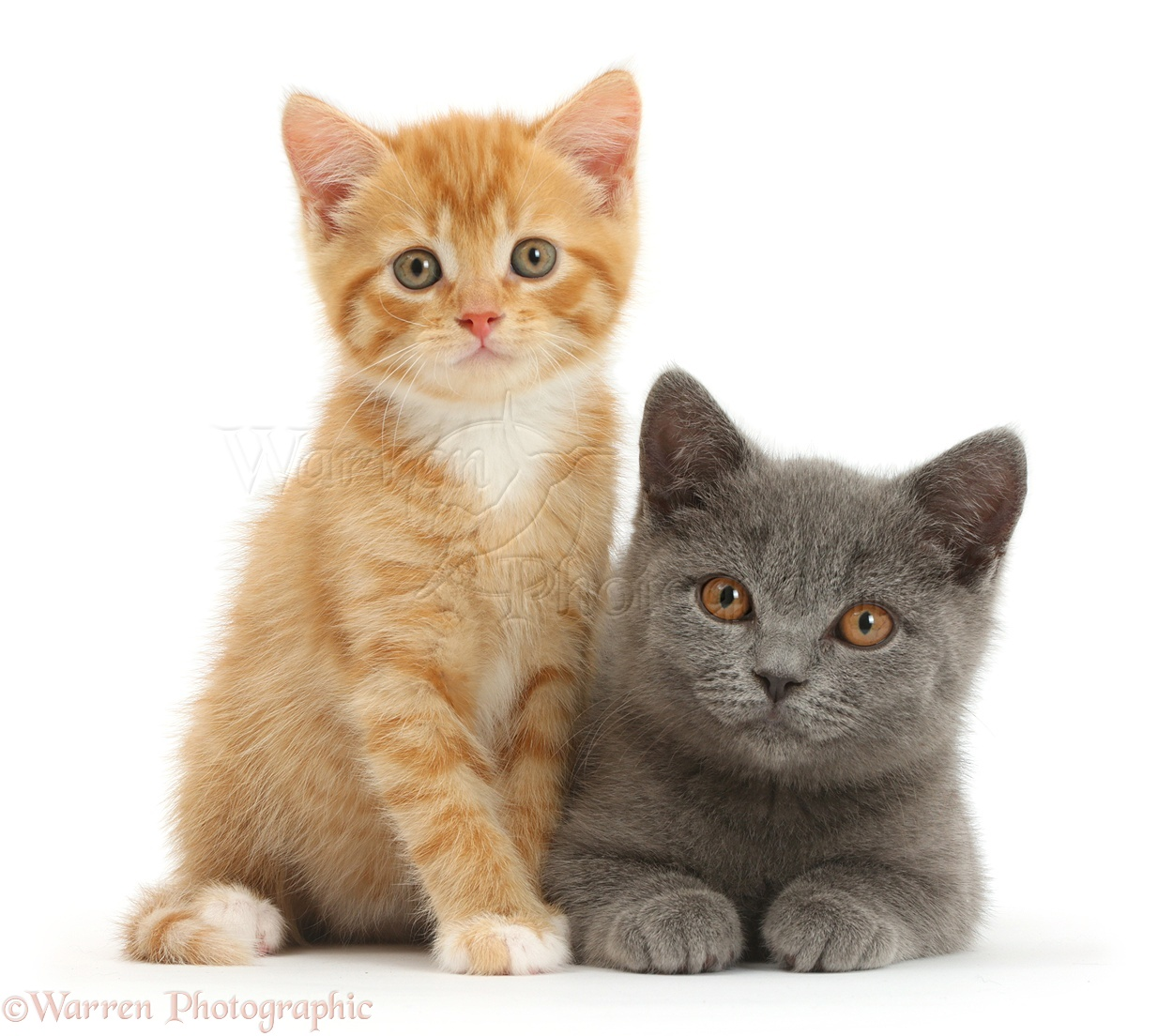 Ginger kitten and Blue British Shorthair kitten photo WP41956