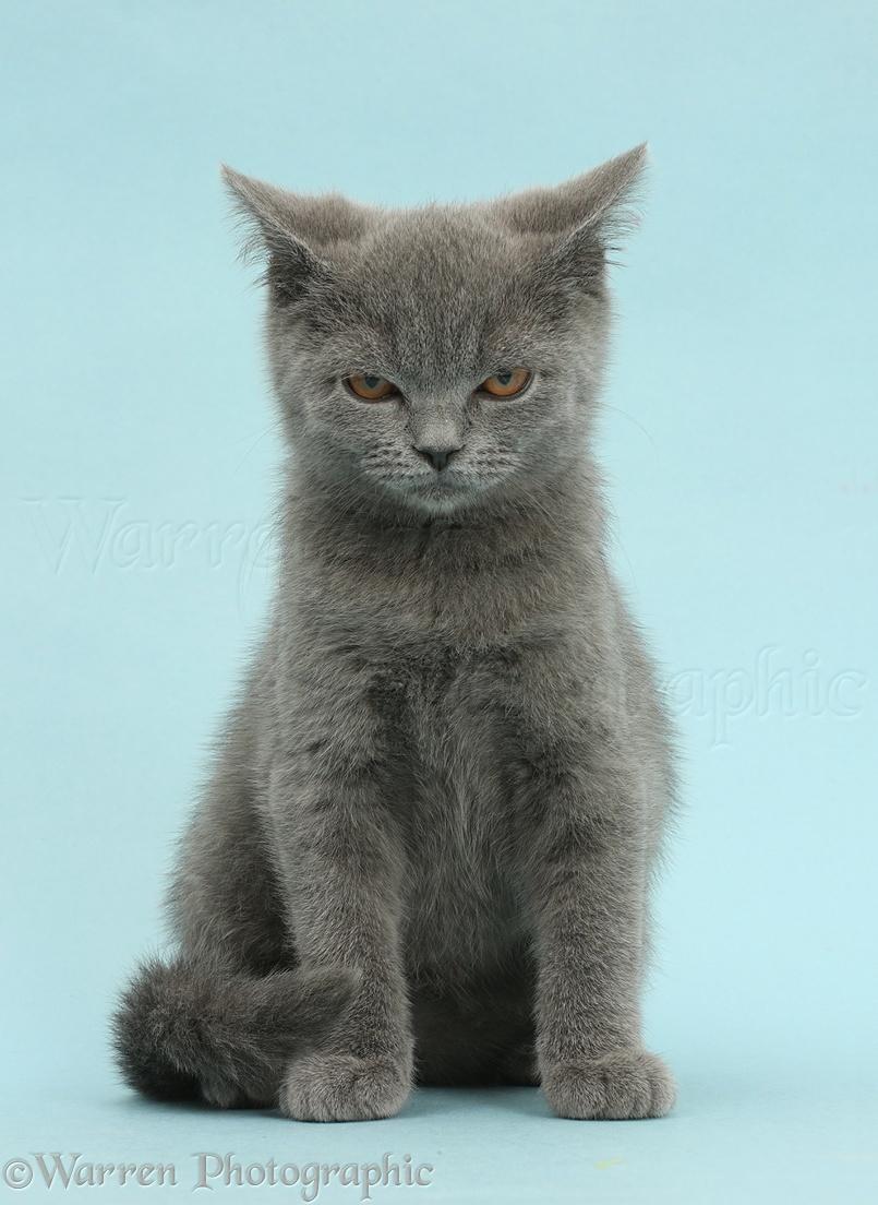 Smokekit of RiverClan 41958-Blue-British-Shorthair-kitten-looking-angry