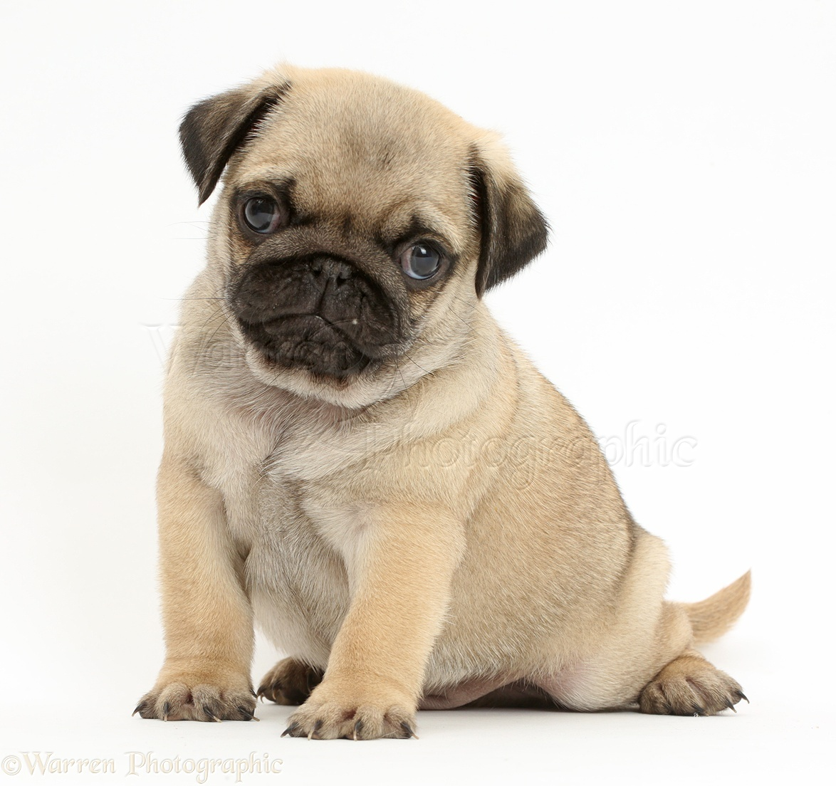 how to train a pug puppy to sit