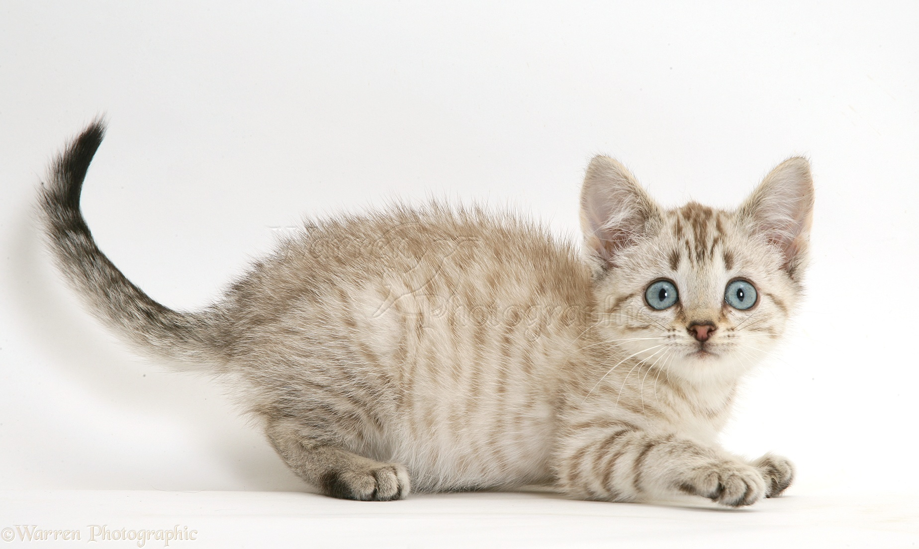 White Bengal Kitten