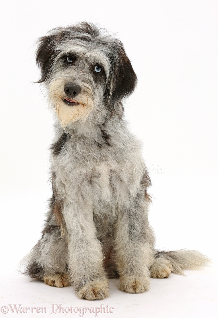 dog blue merle cadoodle mutt photo   wp42064