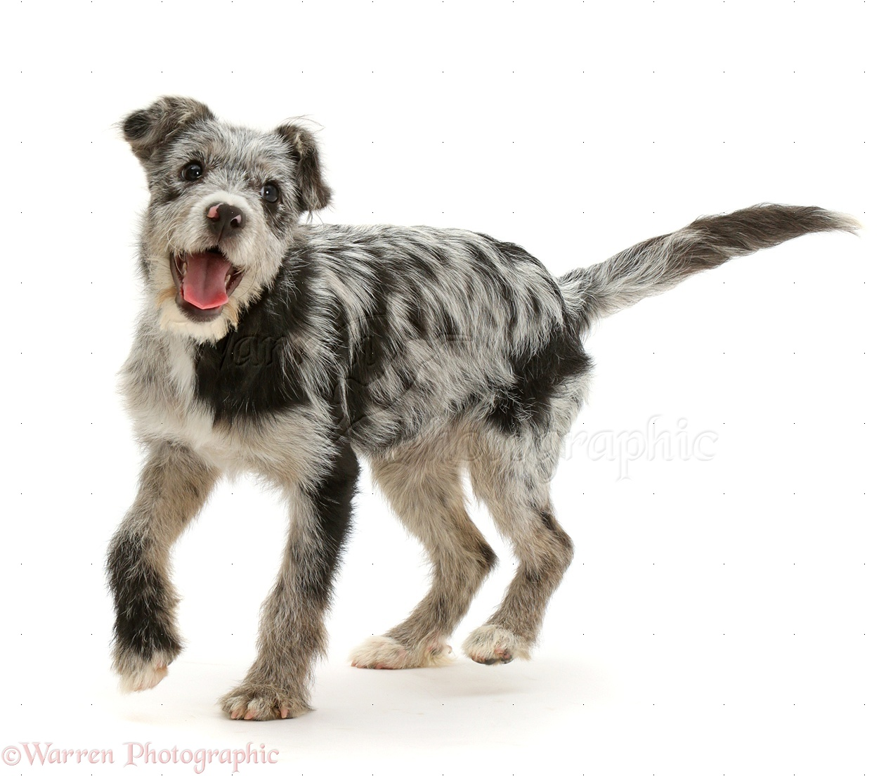 Dog: Blue merle mutt photo - WP42070 | 1261 x 1104 jpeg 335kB