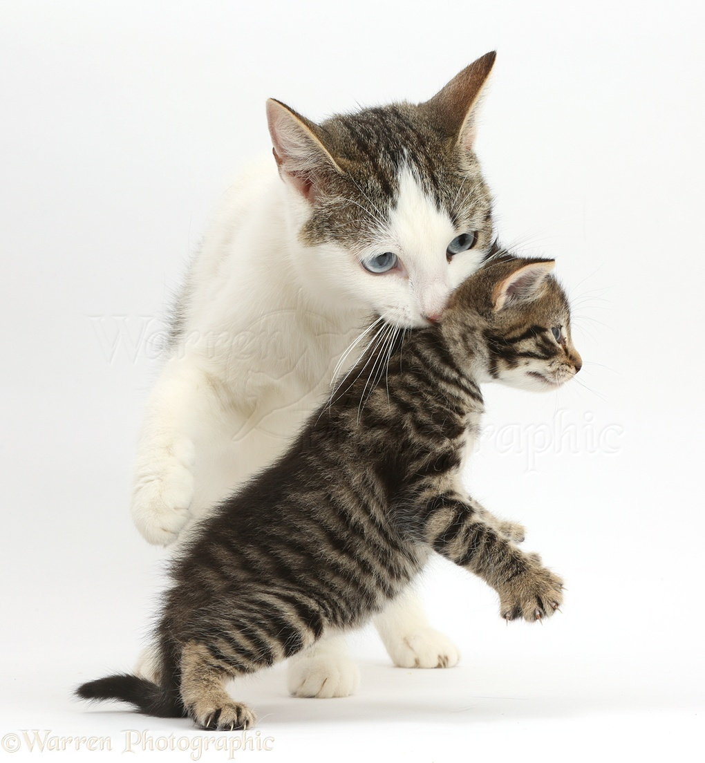 Mother cat carrying her kitten photo WP