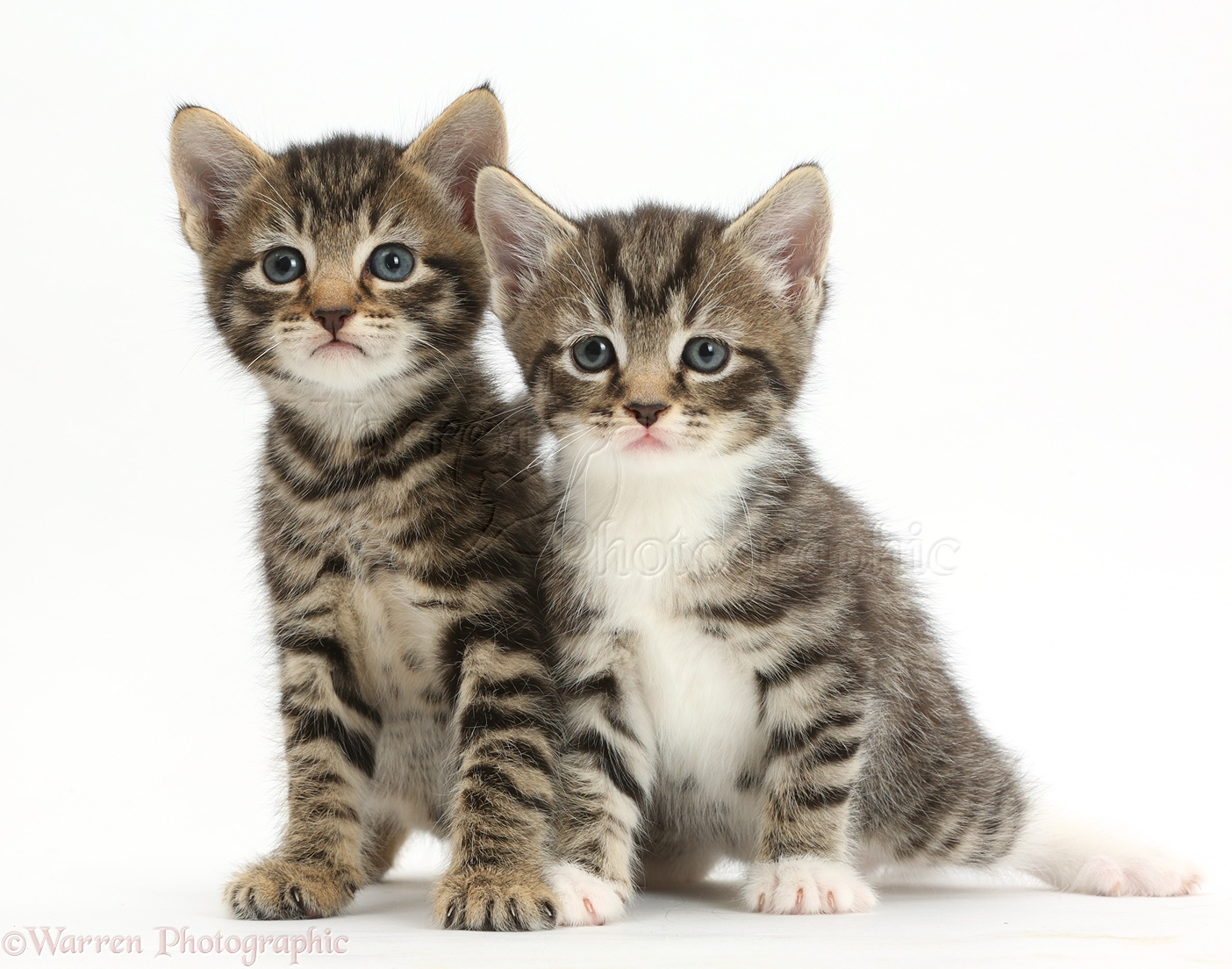 Cute tabby kittens photo WP