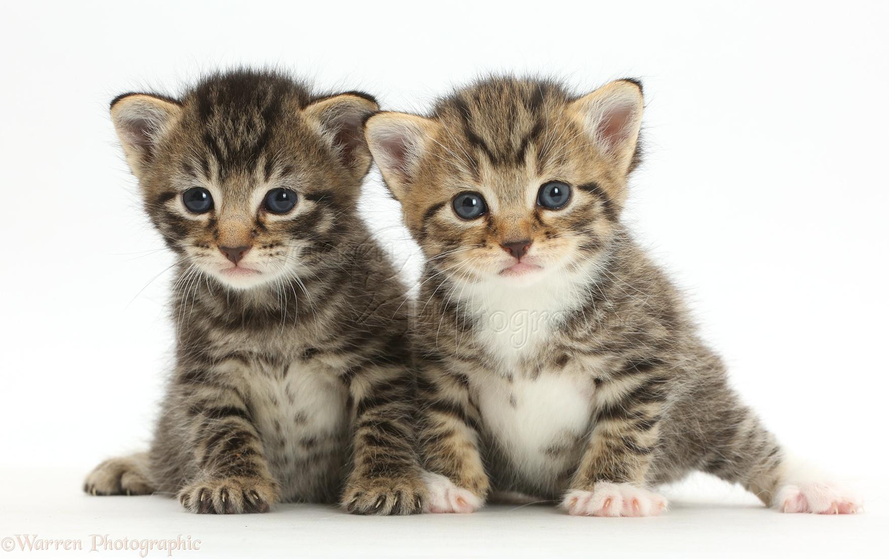 Cute baby tabby kittens photo WP
