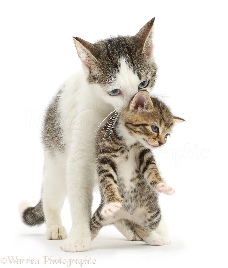 How Cats Carry Kittens