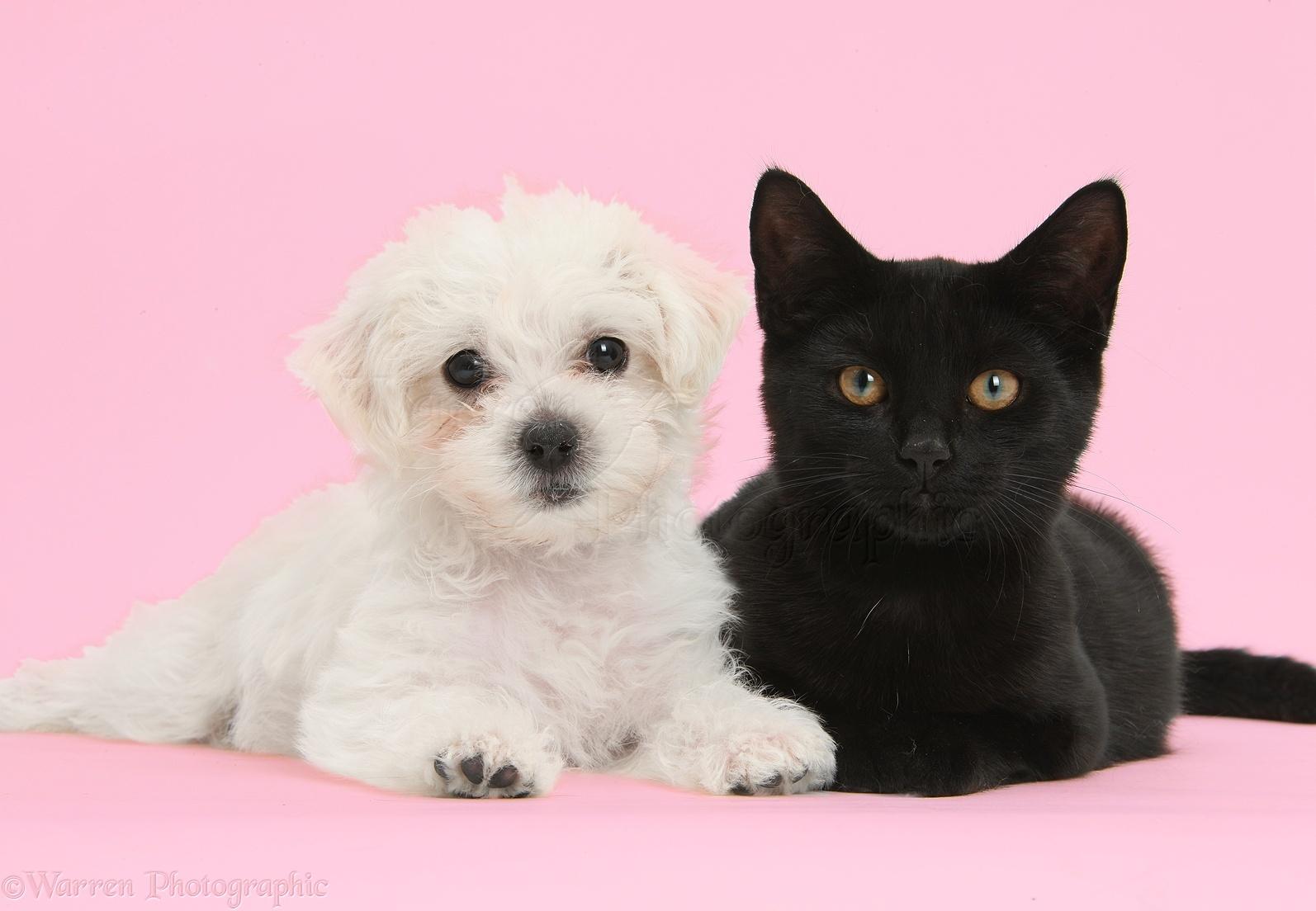 Cute white Bichon x Yorkie puppy and black cat