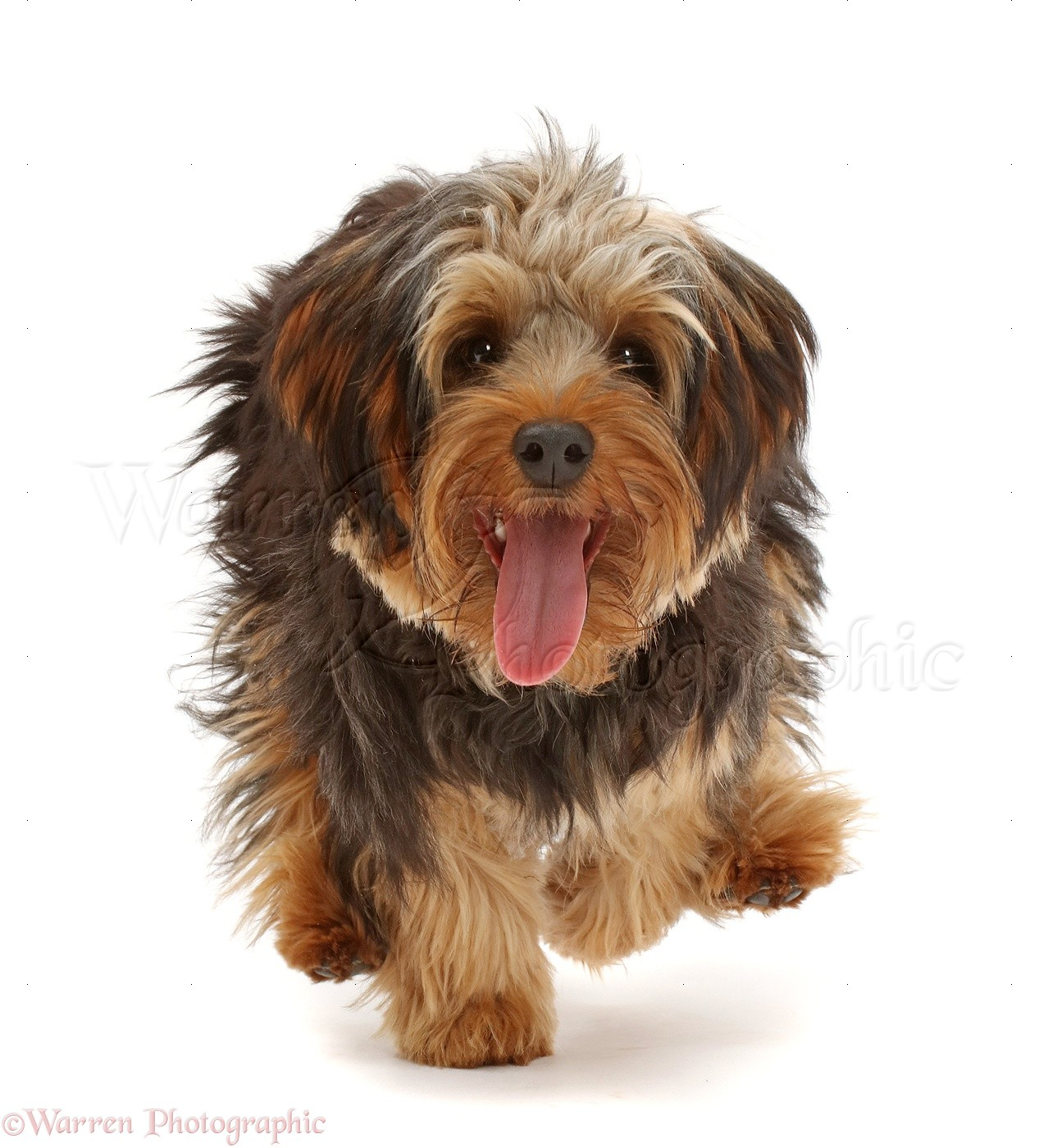 yorkipoo dog running photo   wp42187