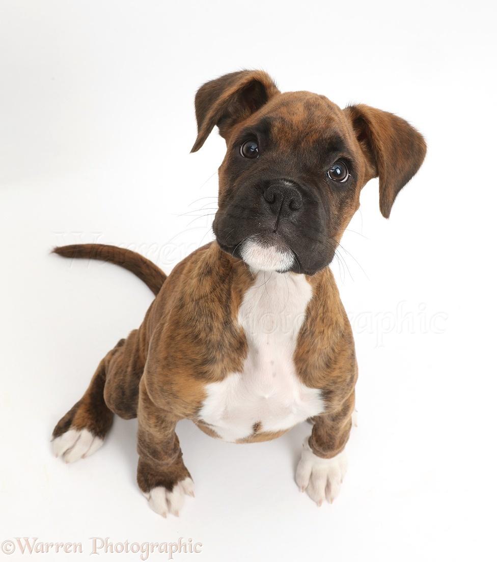 Dog: Brindle Boxer puppy sitting looking up photo - WP42280