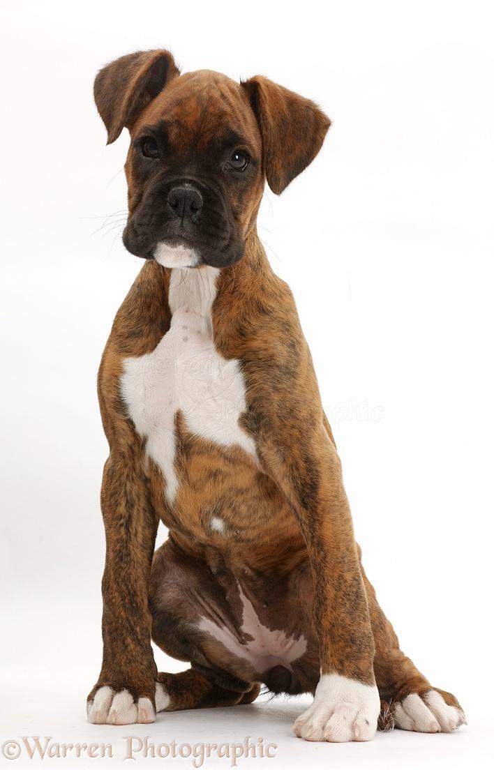 Dog: Brindle Boxer puppy sitting photo - WP42289
