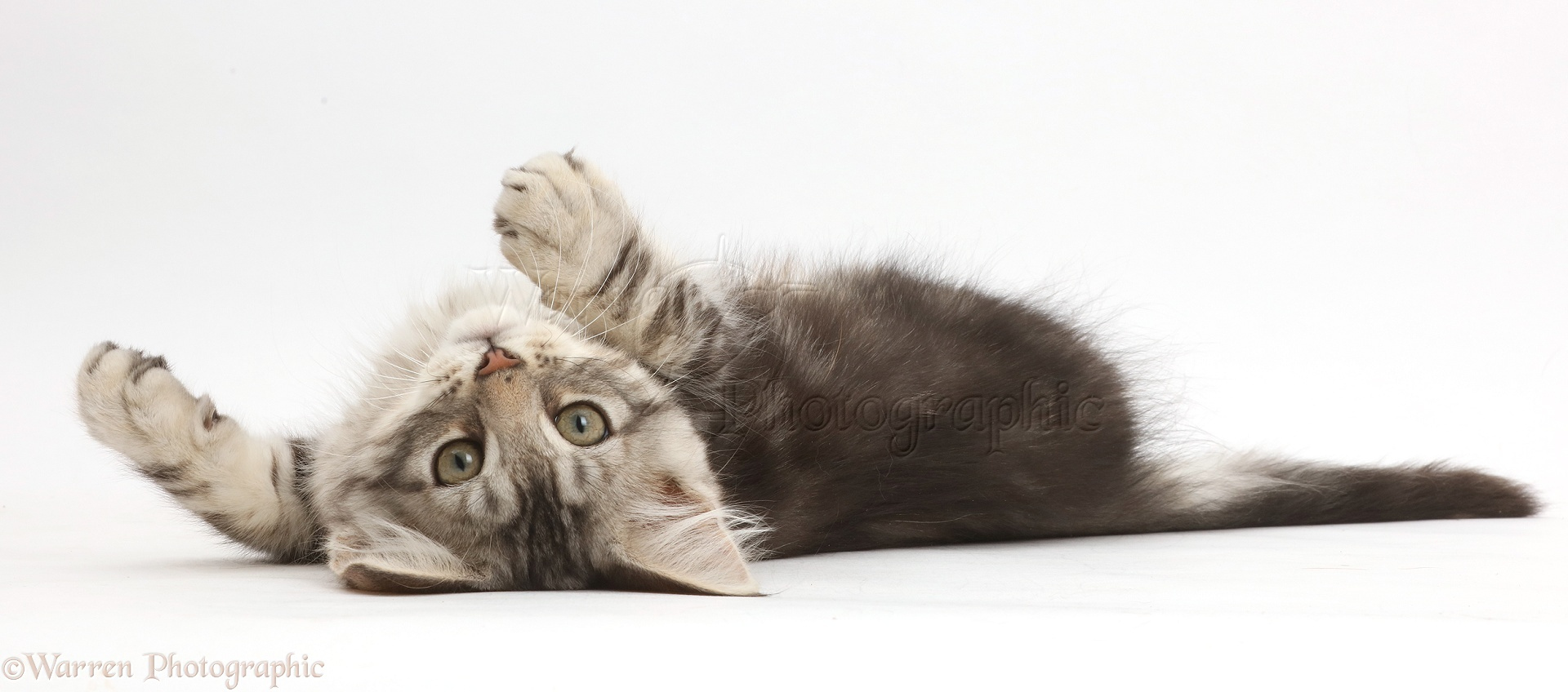 silver tabby kitten lying on his back photo   wp42305