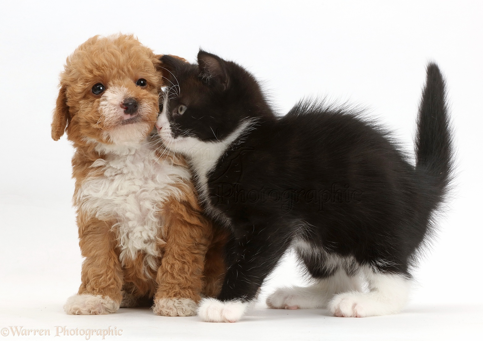 Pets Black And White Kitten Rubbing Goldendoodle Puppy