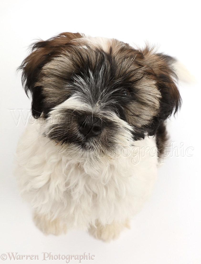 dog tibetan terrier puppy sitting and looking up photo