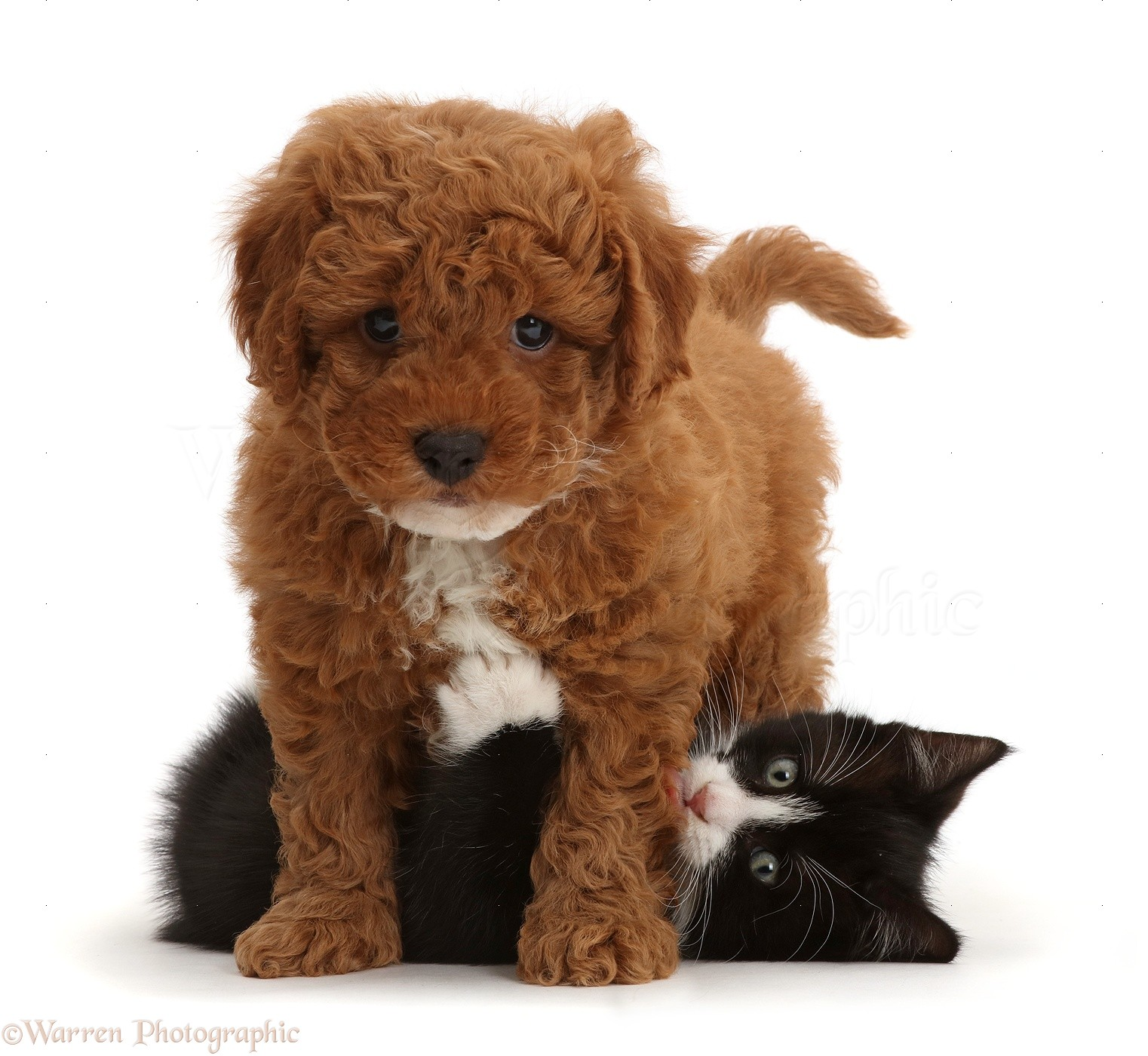 ... white kitten, Solo , 7 weeks old, playing with F1b toy Cavapoo puppy