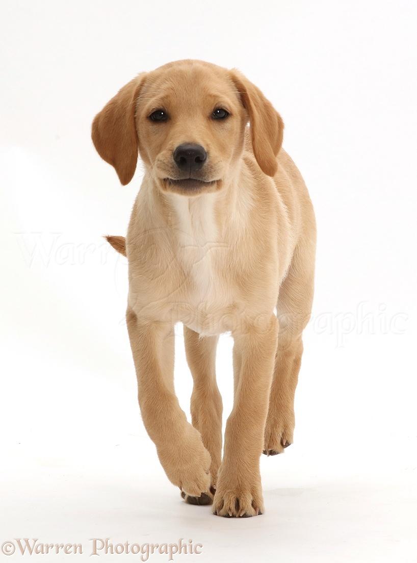 dog yellow labrador puppy 11 weeks old walking photo