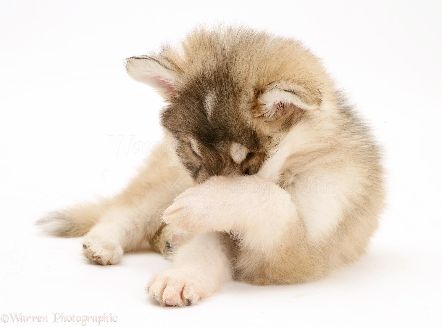 Dog: Utonagan puppy hiding its face in shame photo - WP42440: www.warrenphotographic.co.uk/42440-utonagan-puppy-hiding-its-face...