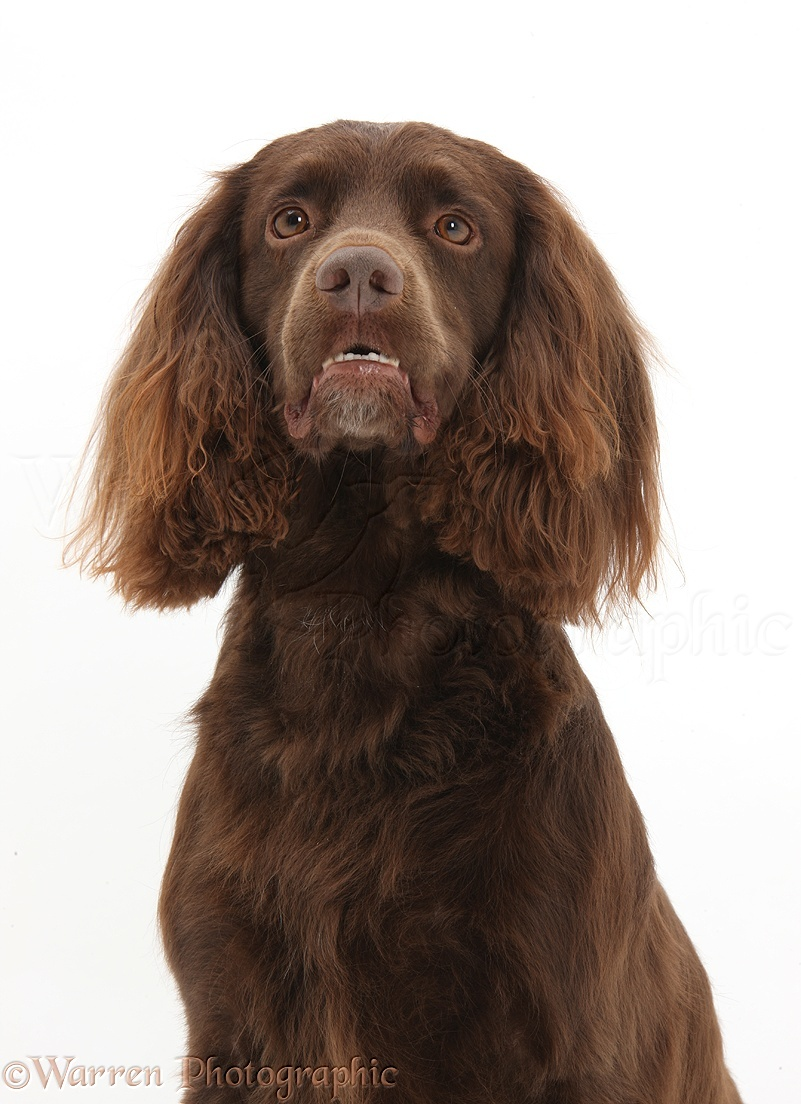 Cocker Spaniel Rescue Dogs Uk