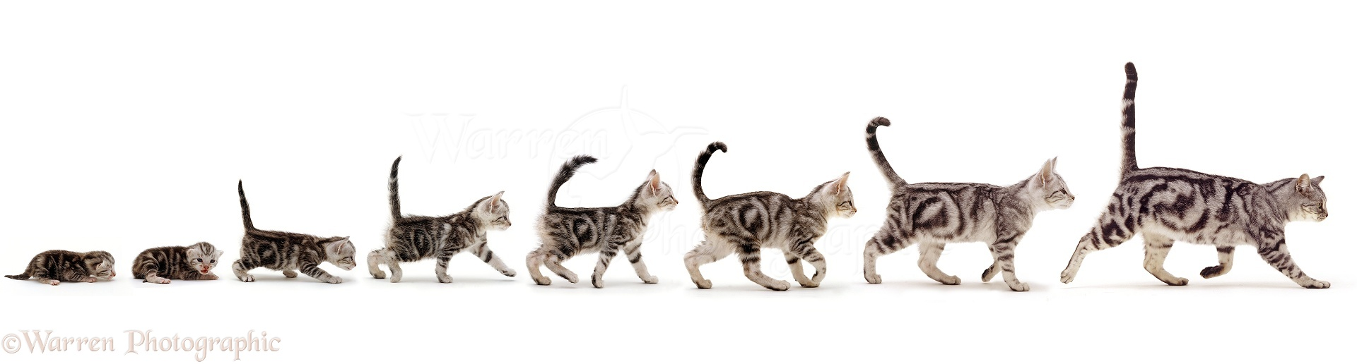 Silver tabby cat growing up sequence stages photo - WP42493
