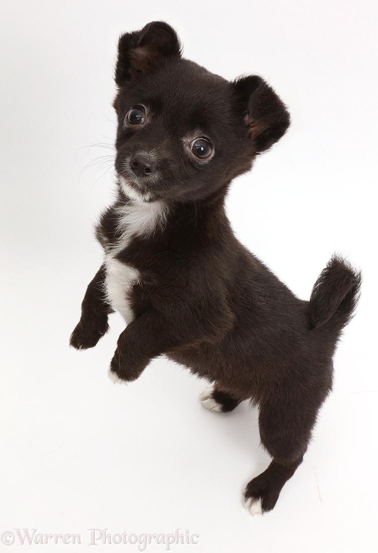 Dog Jackahuahua Puppy Standing Up Photo Wp42591