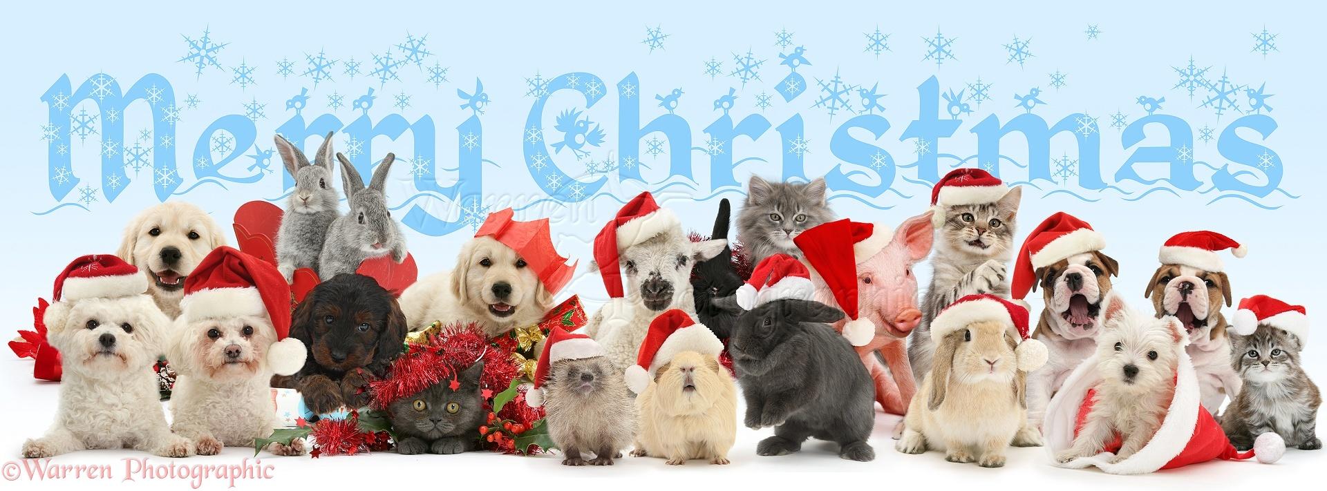 Merry Christmas Puppies.Pets Merry Christmas Pets Wearing Santa Hats Photo Wp42640