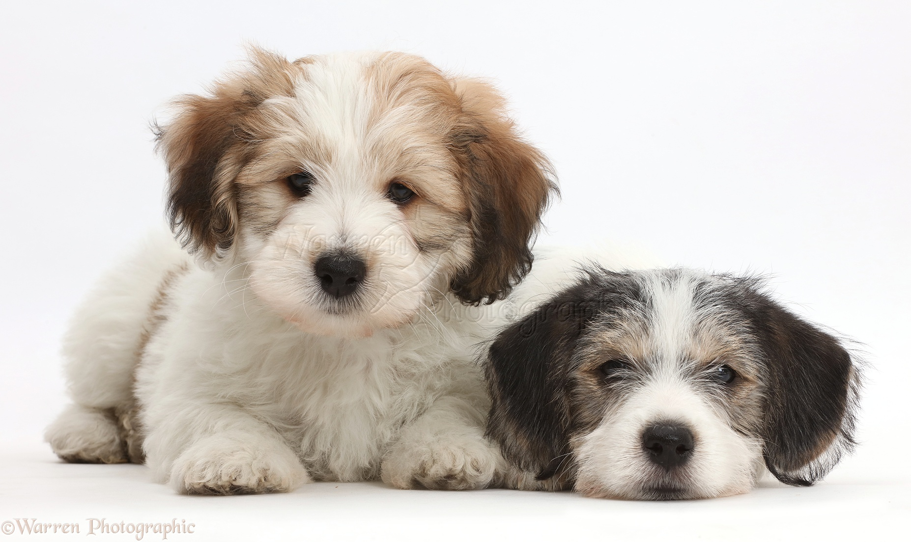dogs jack russell x bichon puppies photo   wp42656
