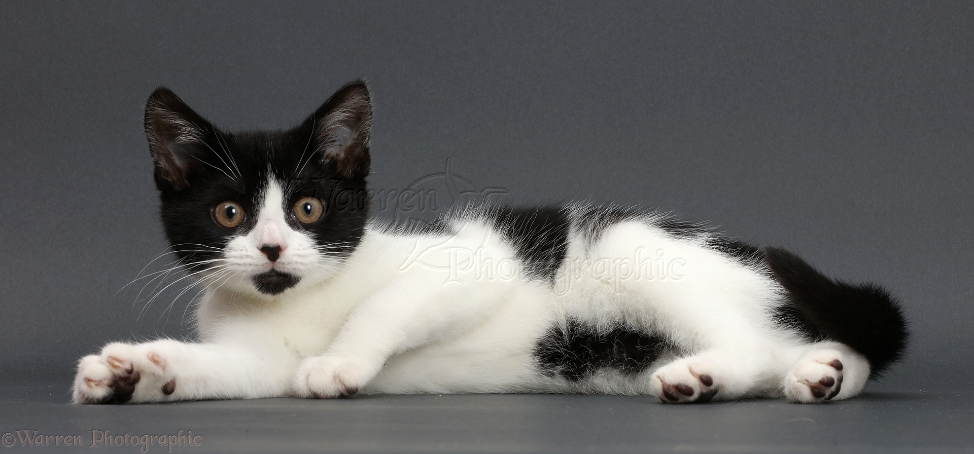 Black-and-white kitten lounging on grey background photo WP42694