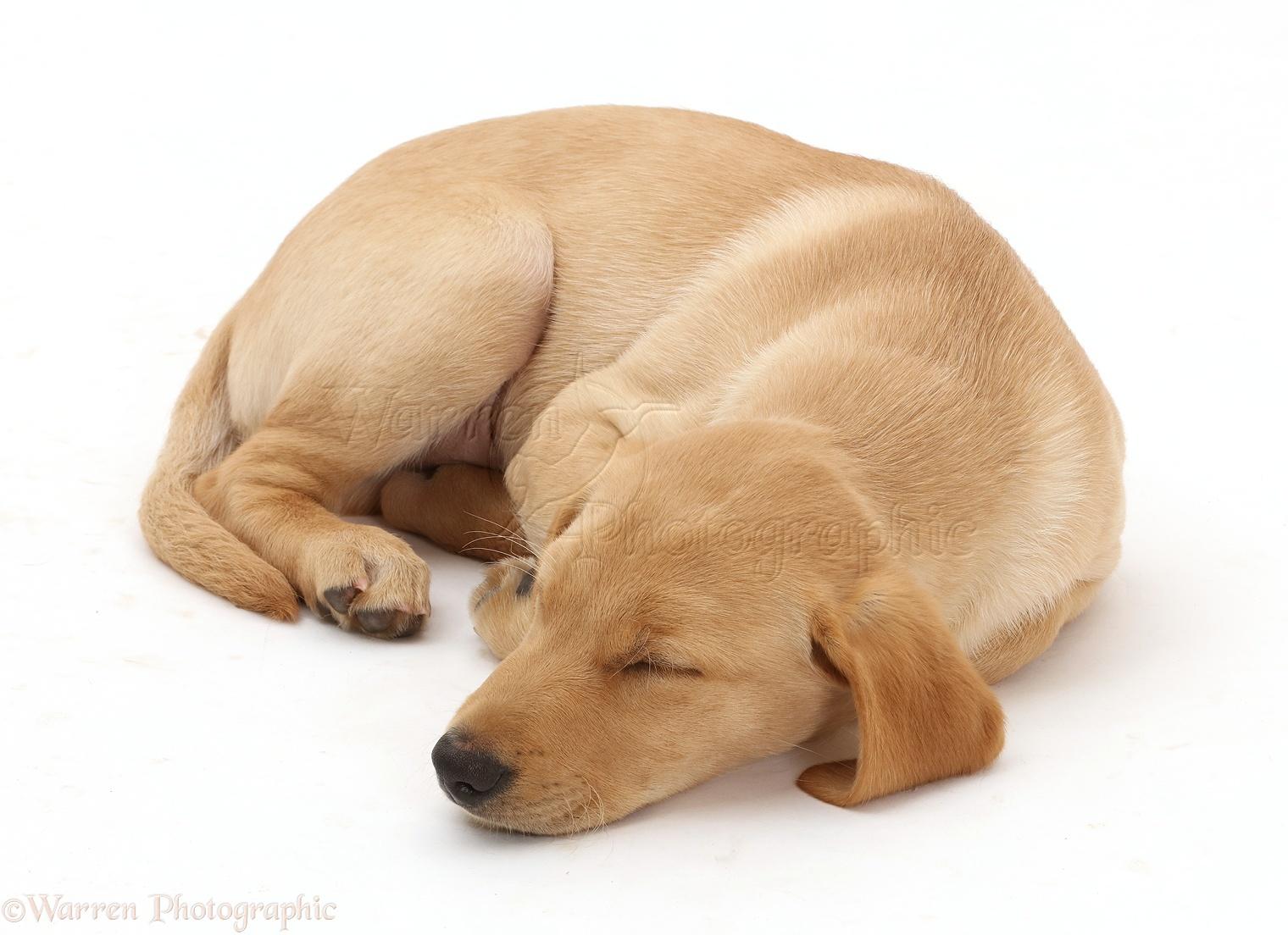 yellow lab puppy sleeping - photo #21