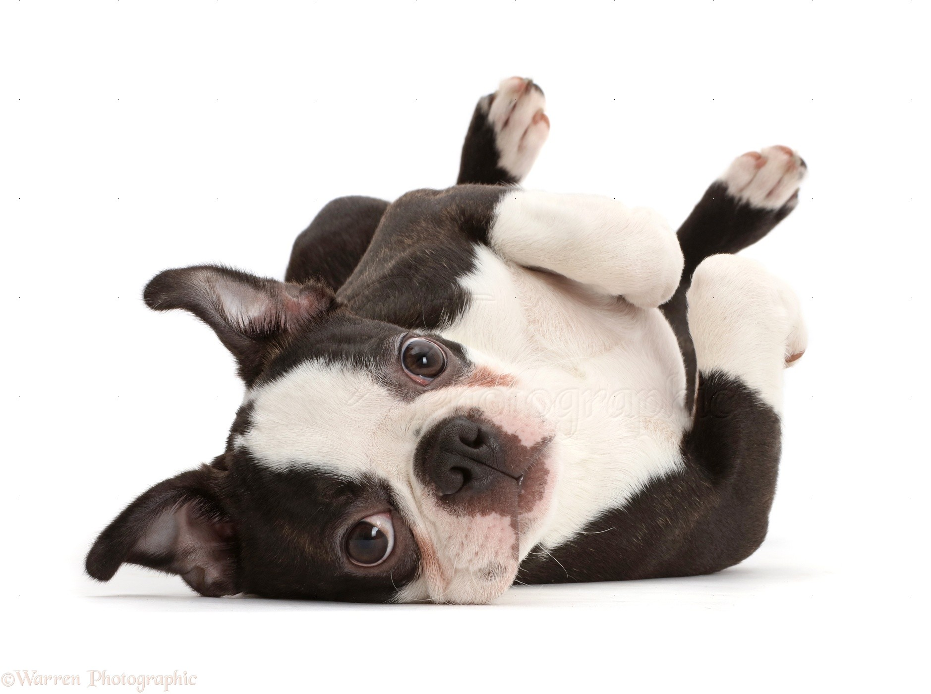 Black dog lying on back - photo#50