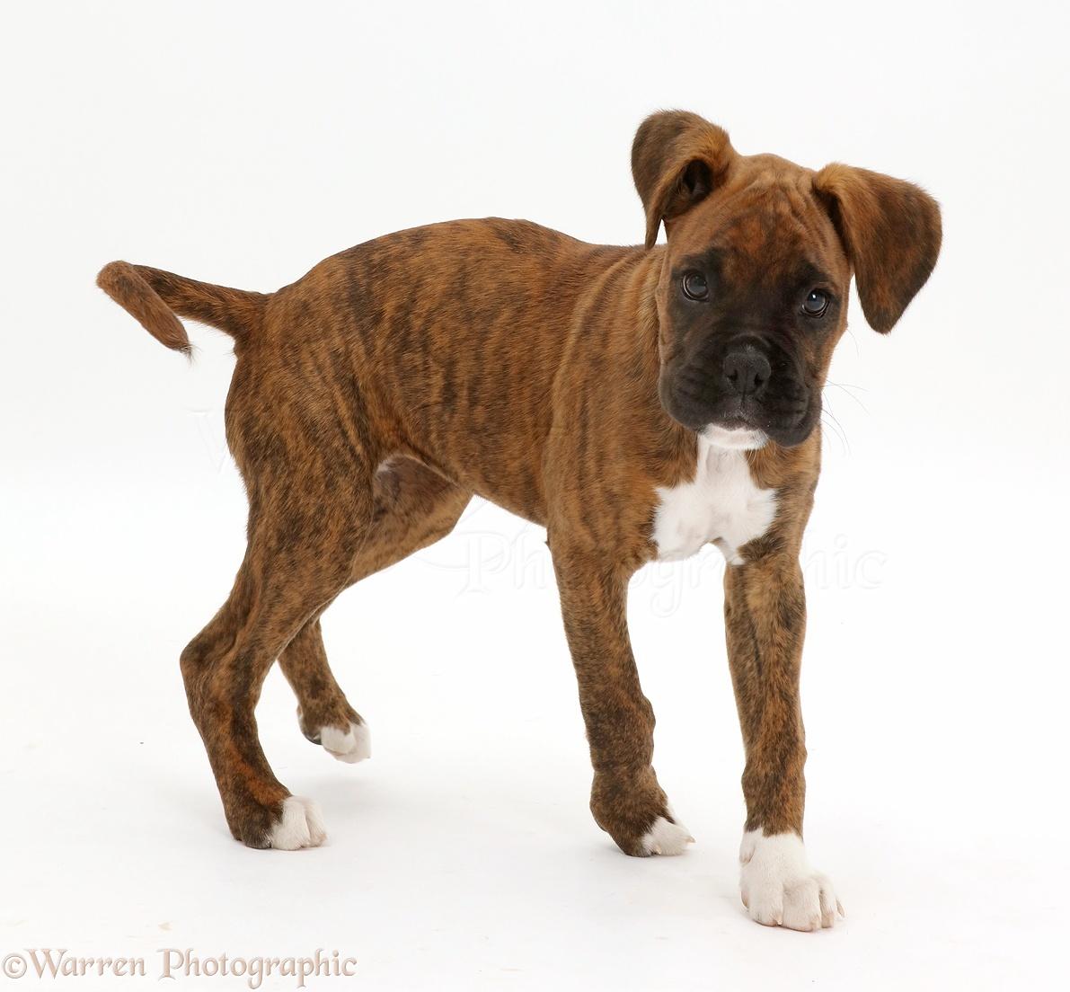 Dog: Brindle Boxer puppy turning photo - WP42885