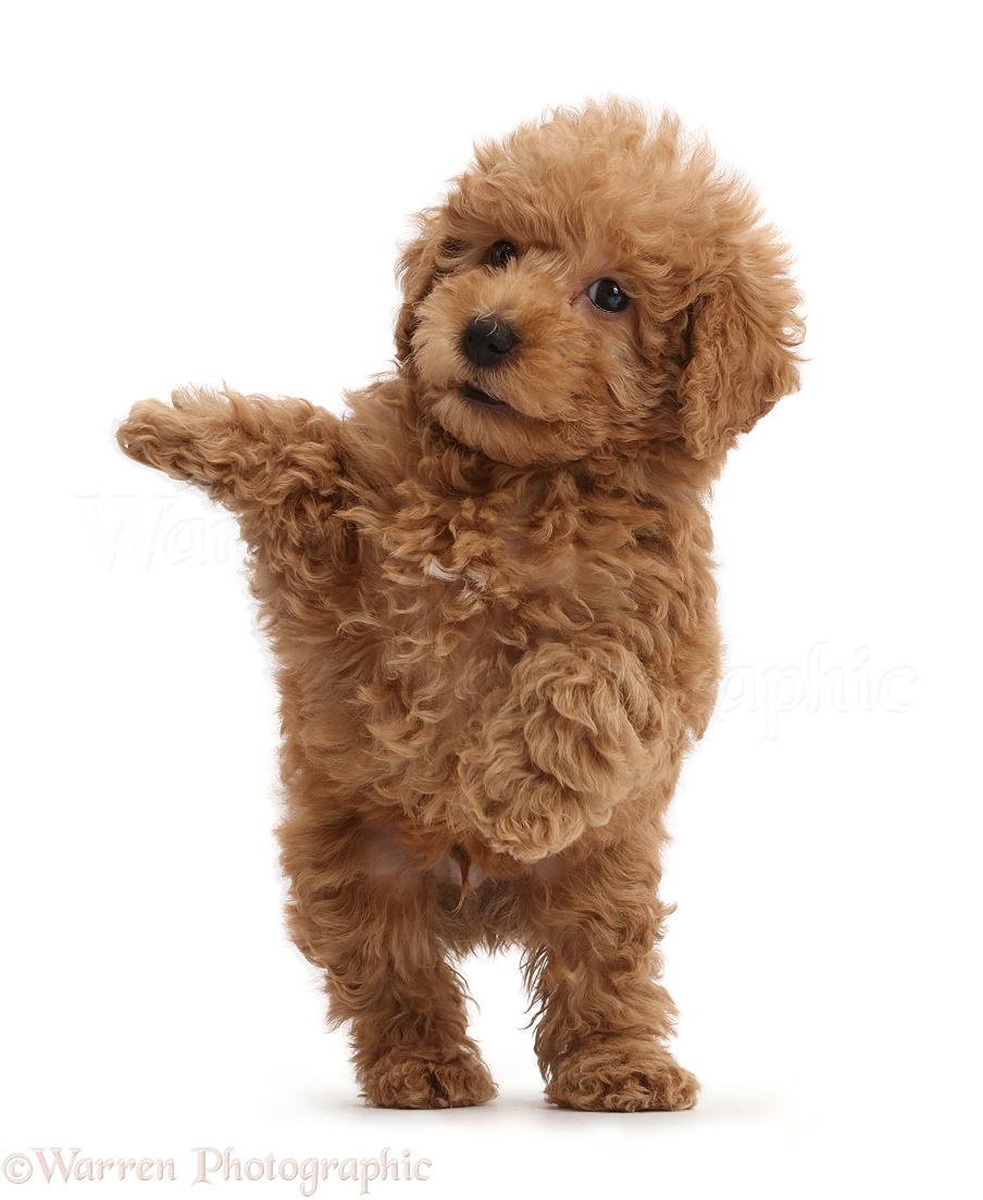 how to train a labradoodle puppy