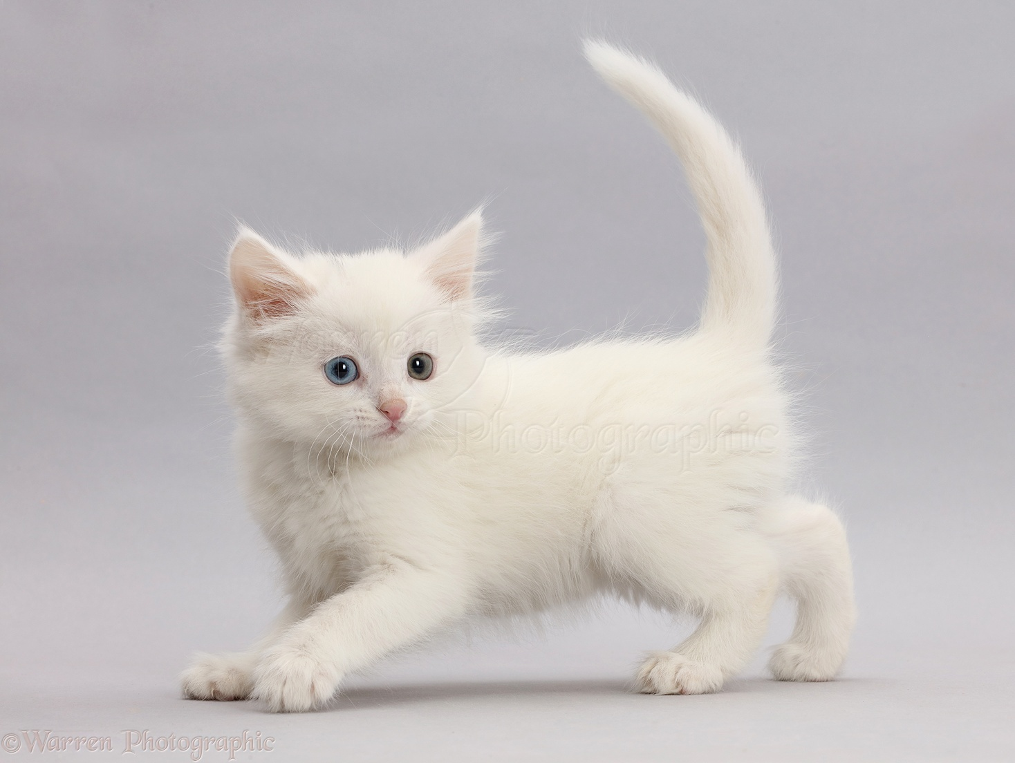 Cute White Cat Photos