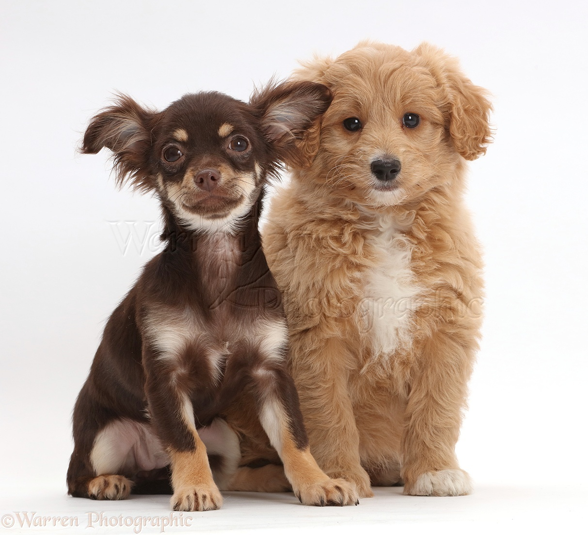 Dogs: Chocolate-and-tan Chihuahua with Cavapoo puppy photo - WP42968