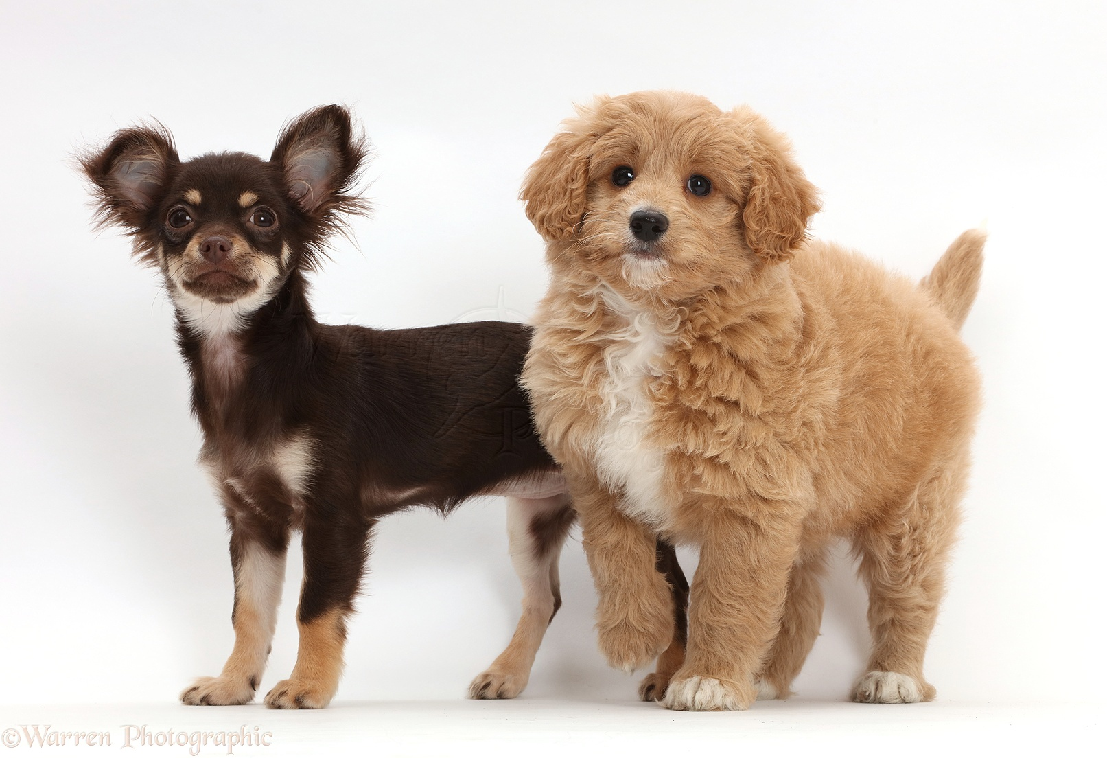 Dogs: Chocolate-and-tan Chihuahua with Cavapoo puppy photo - WP42969