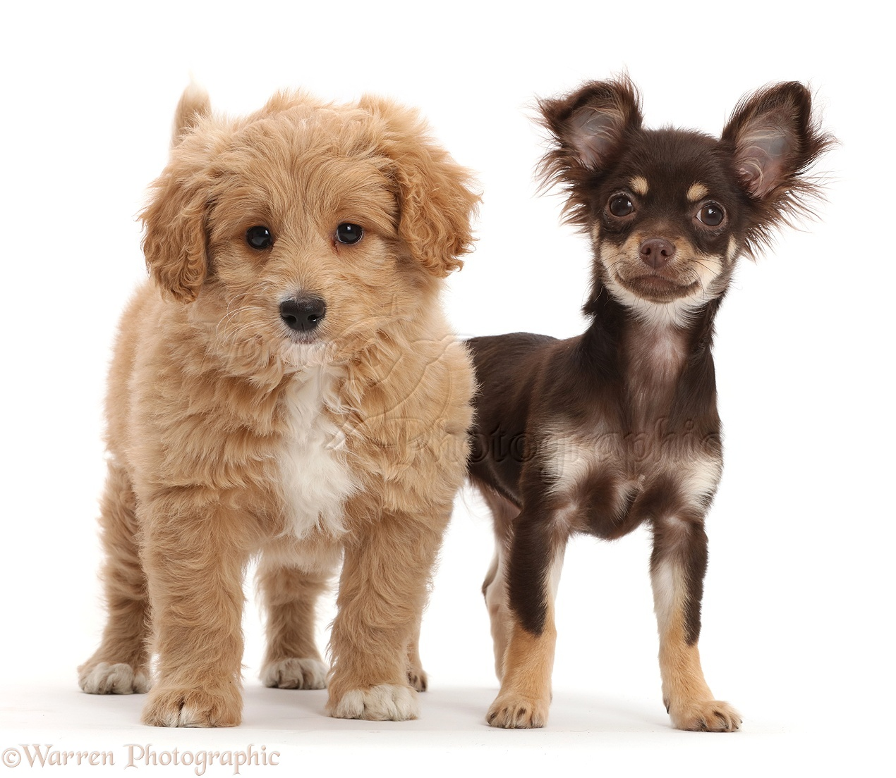 Dogs: Chocolate-and-tan Chihuahua with Cavapoo puppy photo - WP42970