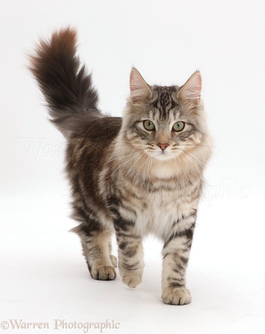 Cat Walking Fluffy Tail