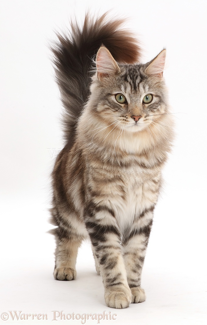 Silver Tabby Fluffy Cat Standing With Tail Erect Photo