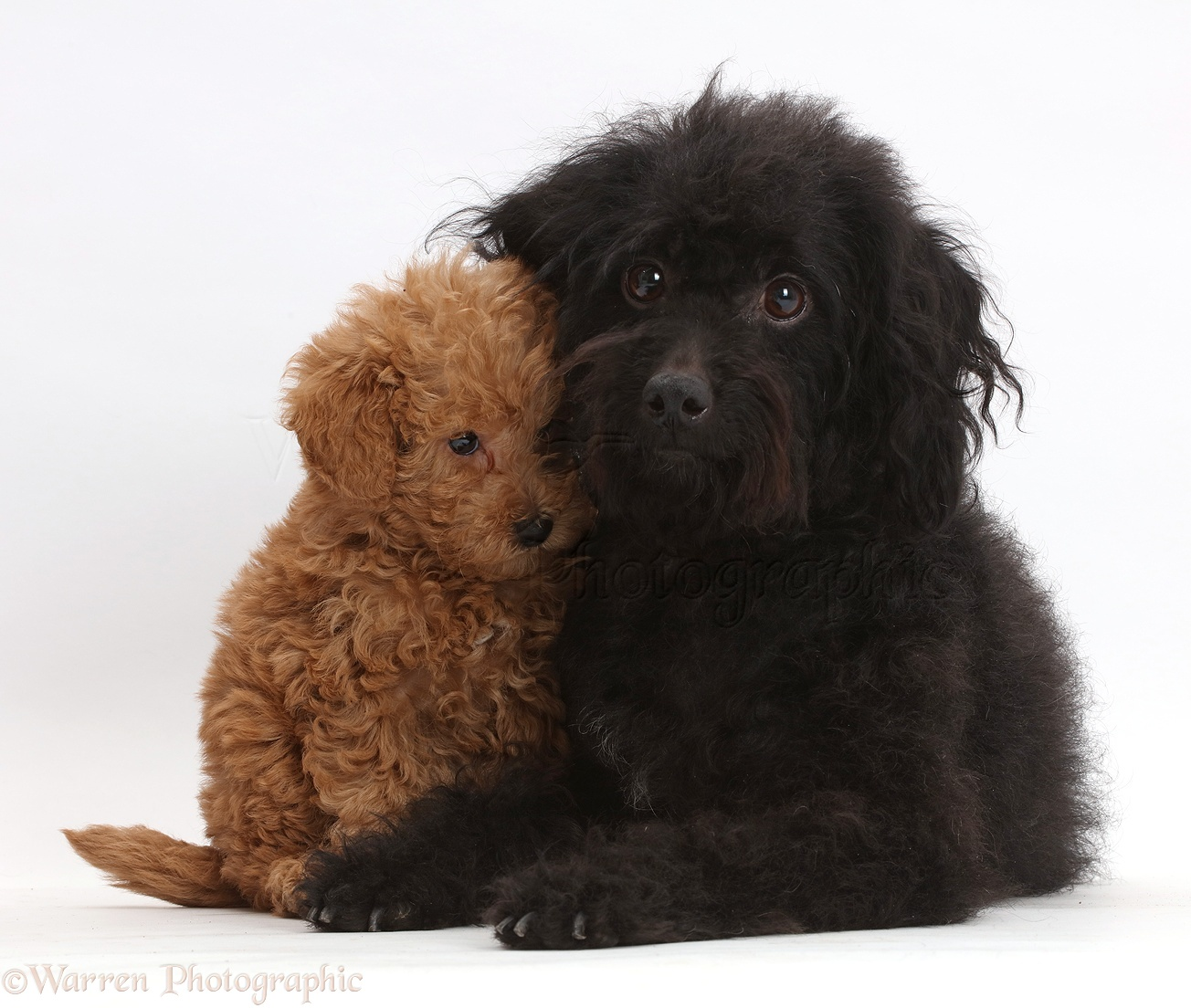 Pictures Of Black Labradoodle Dogs