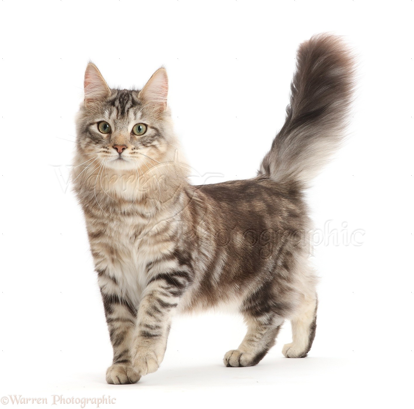 Silver Tabby Cat Kittens