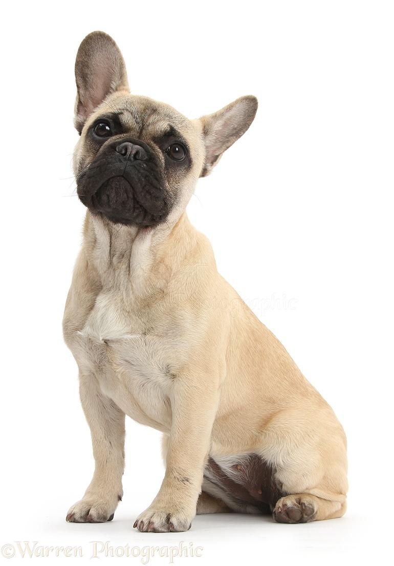 French Bulldog Sitting Photo Wp43007