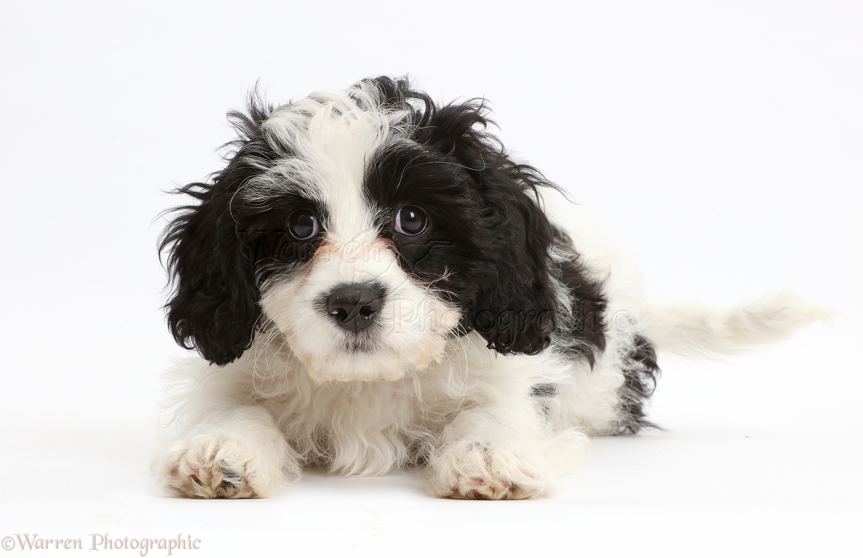 Cavapoo Dog Black