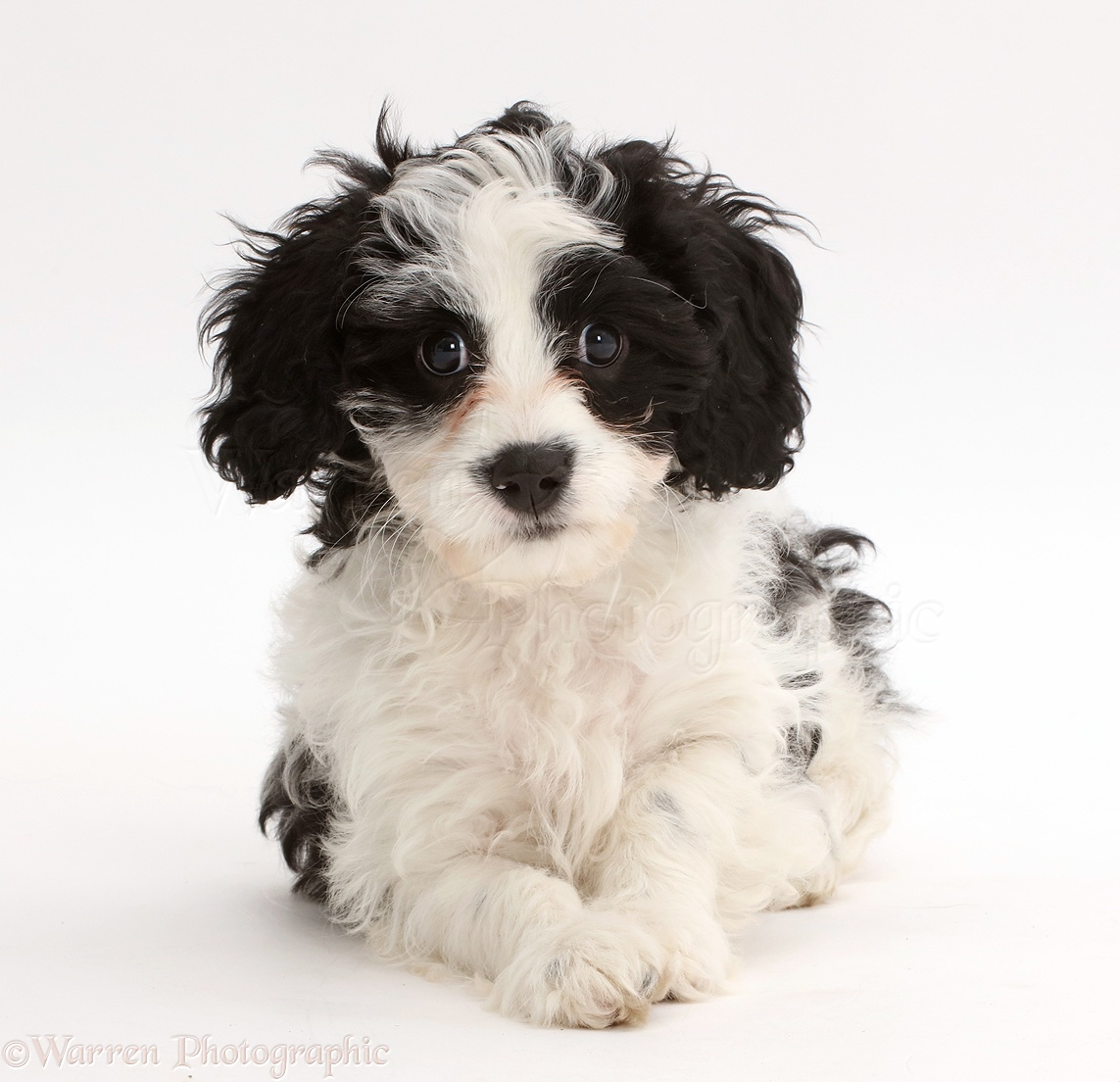 Dog Black And White Cavapoo Puppy Photo Wp43029