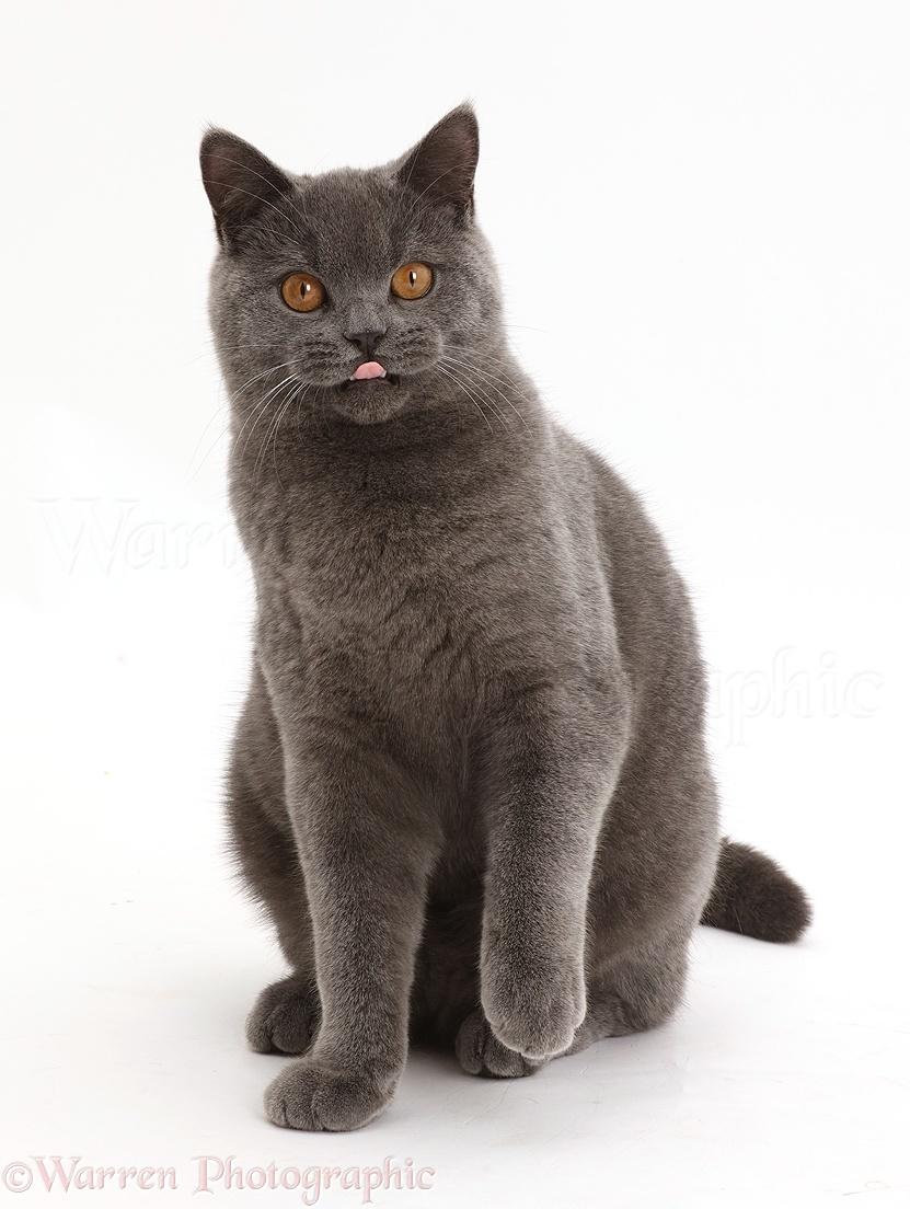 Blue British Shorthair cat sitting photo WP