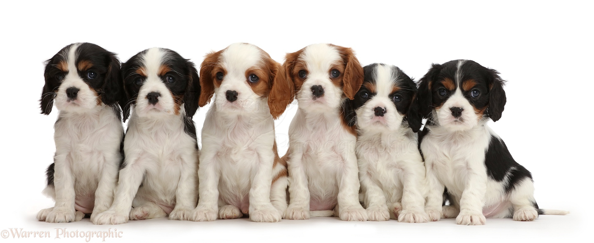 Dogs: Six Cavalier puppies sitting in a row photo WP43142