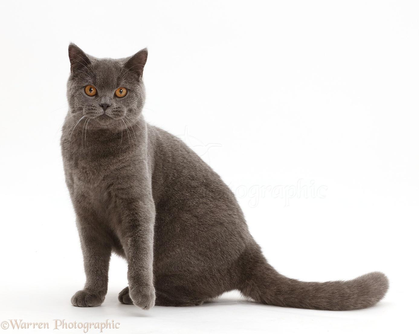 British Blue Cat Uk