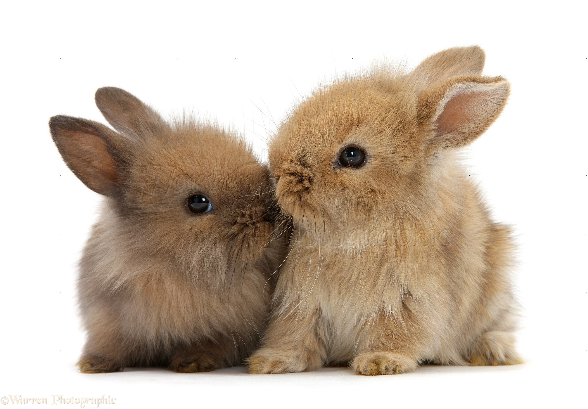 Two cute baby Lionhead-cross bunny rabbits kissing photo ... - photo#33