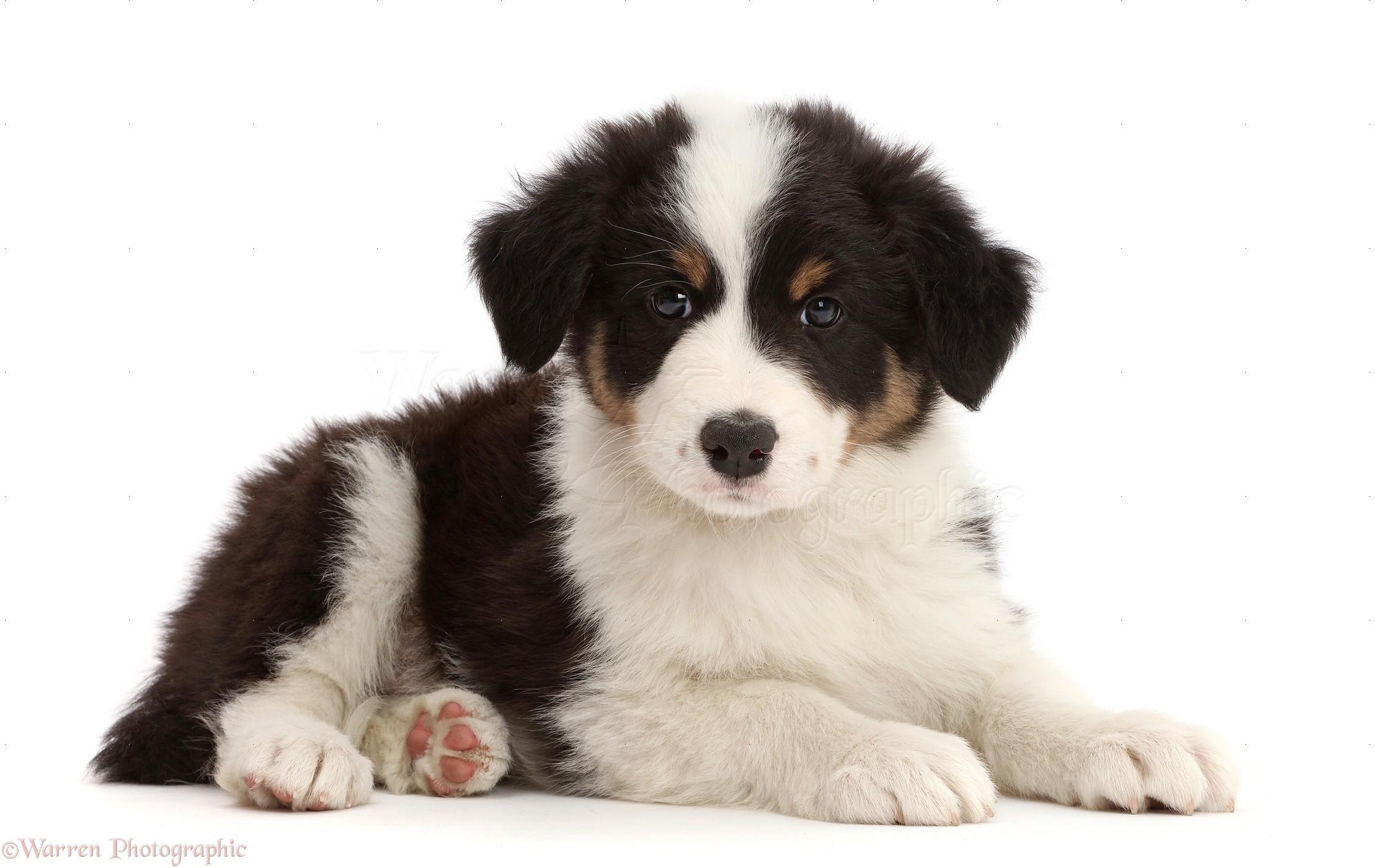 Dog Tricolour Border Collie Puppy Photo Wp43308